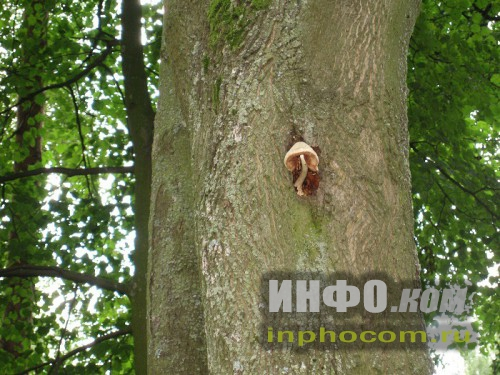Шлиссельбург, гриб на дереве