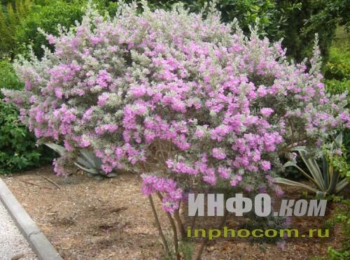 Израиль. Куст в Бахайском саду (г. Акко)